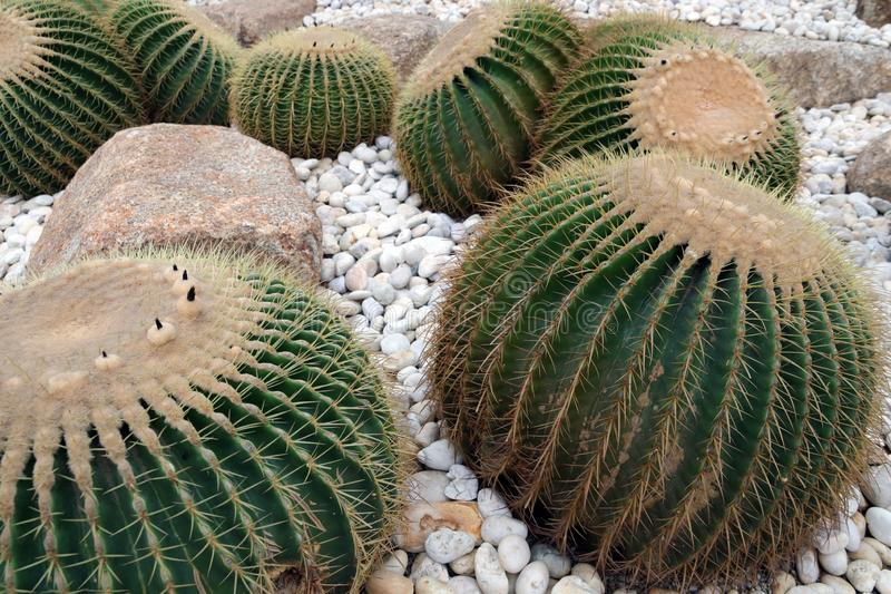 Kaktus som planteras i trädgården royaltyfri foto