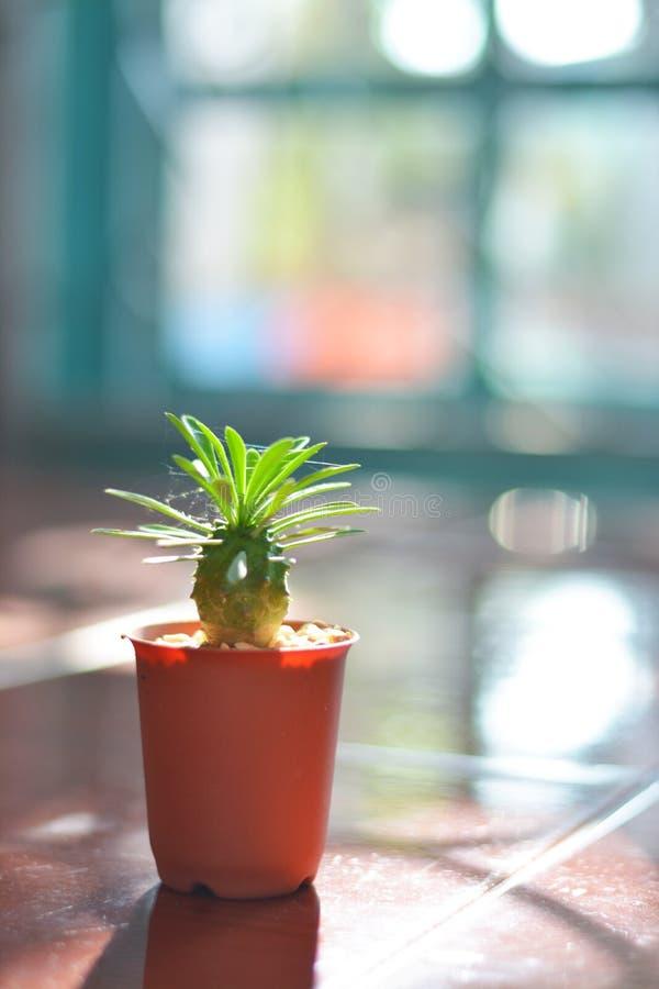 Kaktus spiderweed och aftonsollodlinje arkivfoton