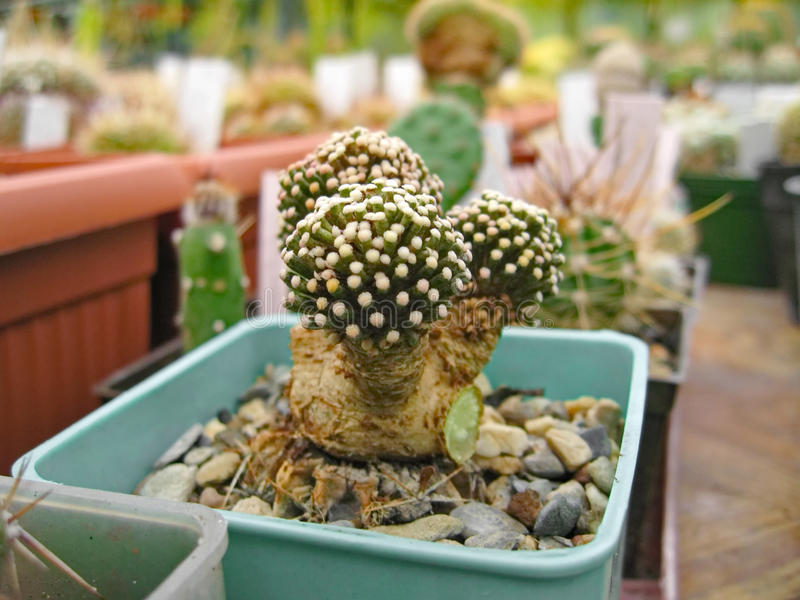 Kaktus stachelig stockbilder