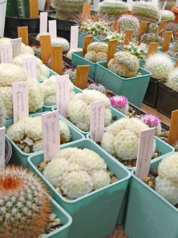 Kaktus stachelig lizenzfreie stockbilder