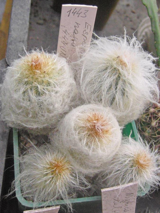 Kaktus stachelig stockfotografie
