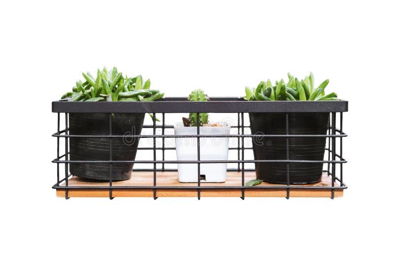 Kaktus tre i blomkrukor som isoleras på vit bakgrund arkivfoton