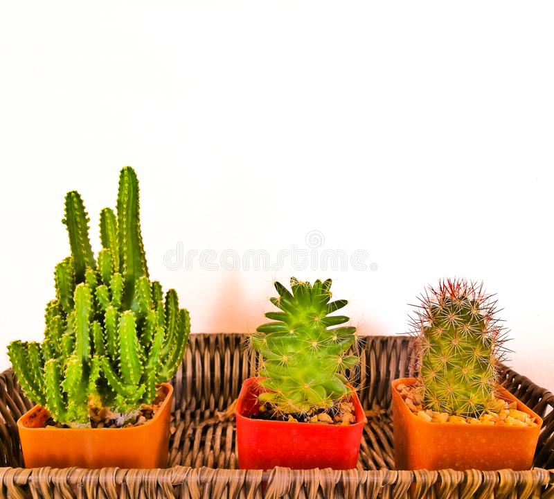 Kaktus tre i växtkrukan vid väggen arkivfoton