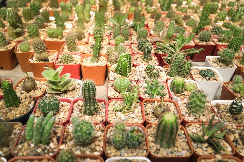 Kaktus- und Kaktusunschärfegruppe im Blumentopf stockfotos