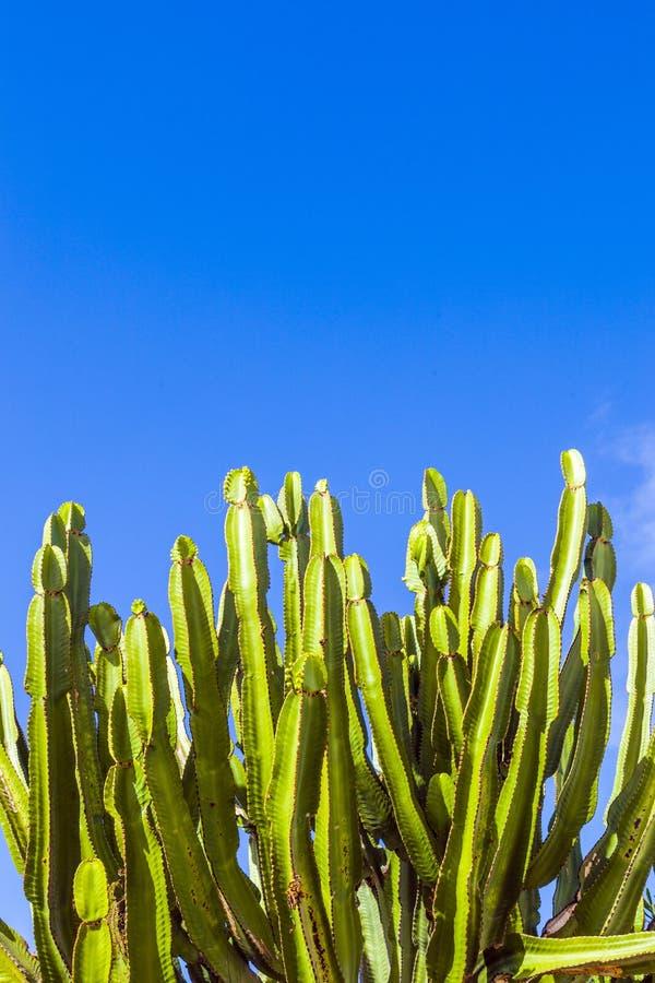 Kaktus under blå himmel fotografering för bildbyråer
