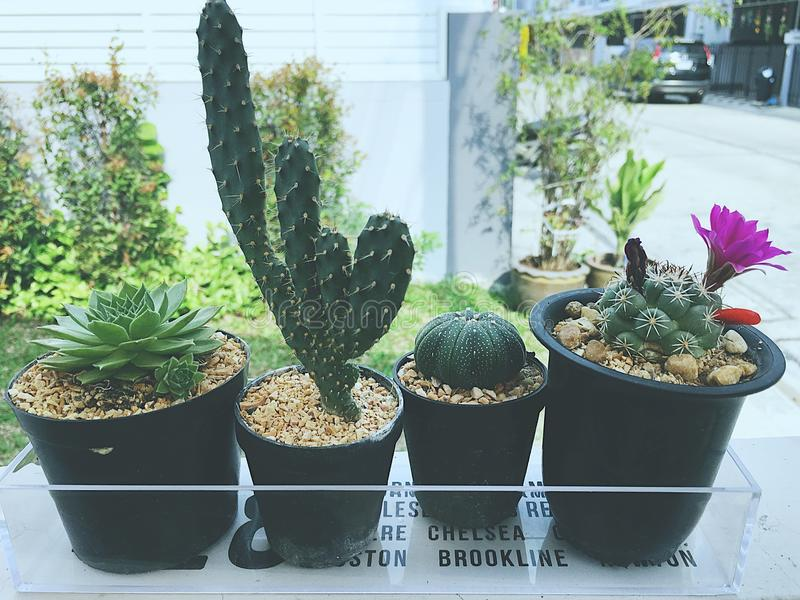 Kaktus vier stockfotos