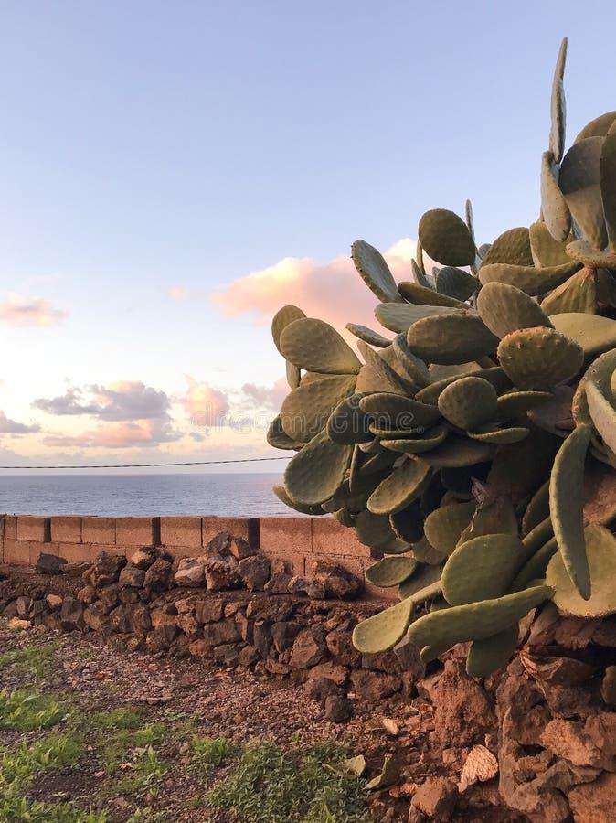 Kaktus von Teneriffa stockfotos