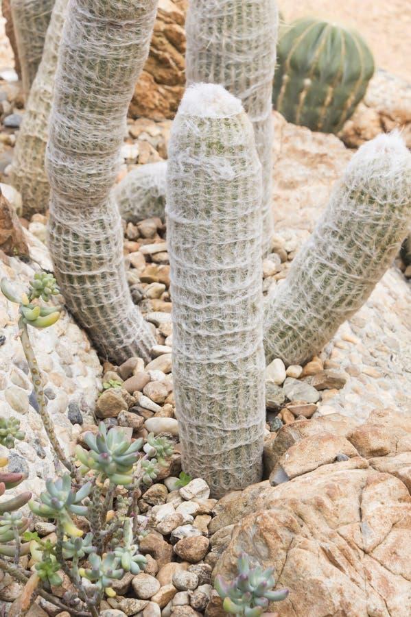 Kaktus, Wüstenpflanze, lizenzfreie stockbilder
