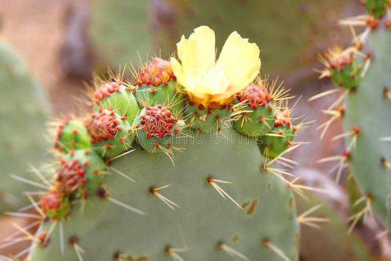 Kaktus w kwiacie obrazy stock