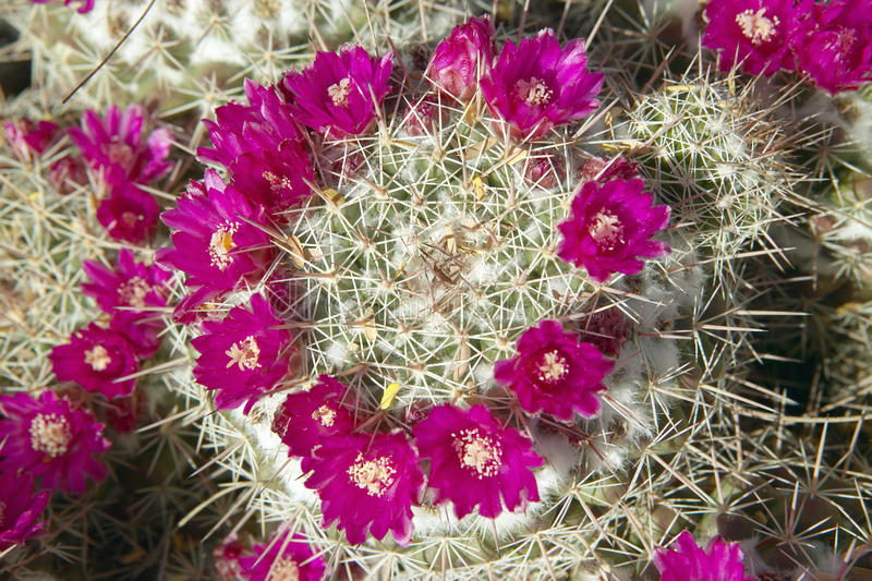 Kaktus w kwiacie w wiośnie, Saguaro park narodowy Zachodni, Tucson, Arizona fotografia stock