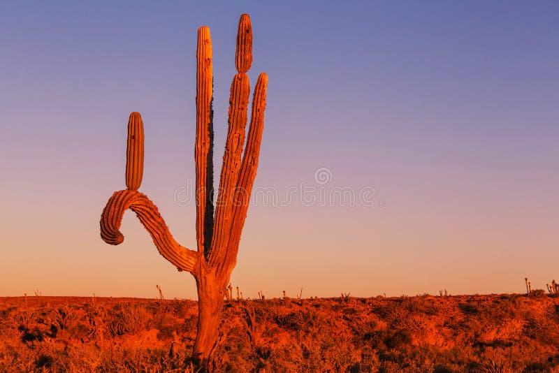 Kaktus w Meksyk fotografia stock
