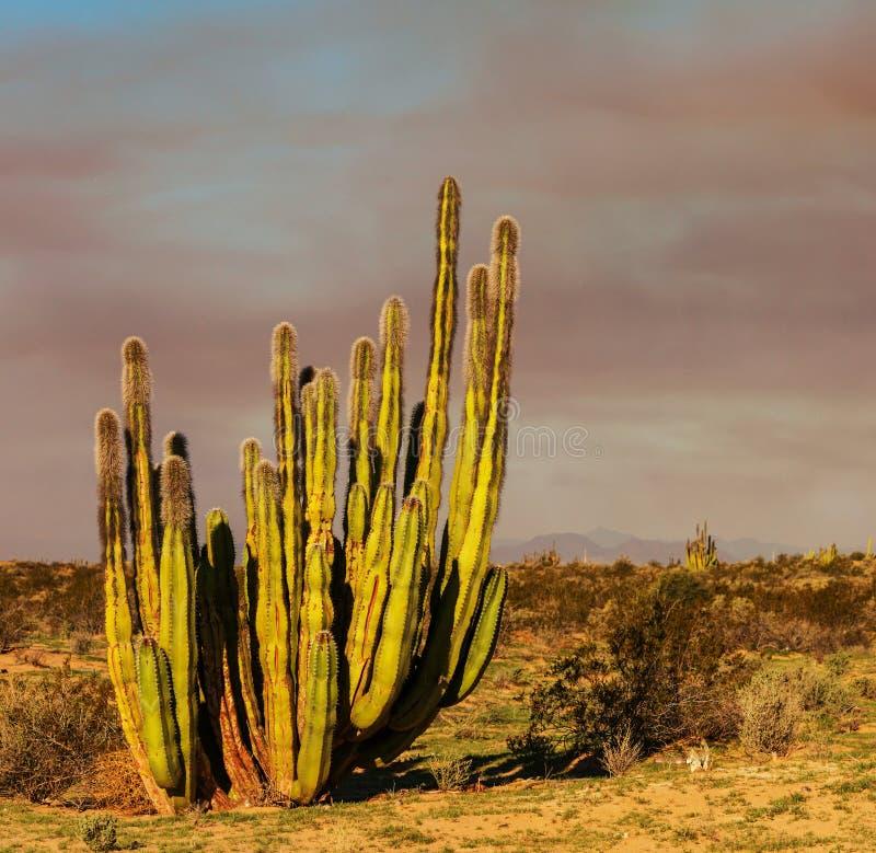 Kaktus w Meksyk zdjęcie stock