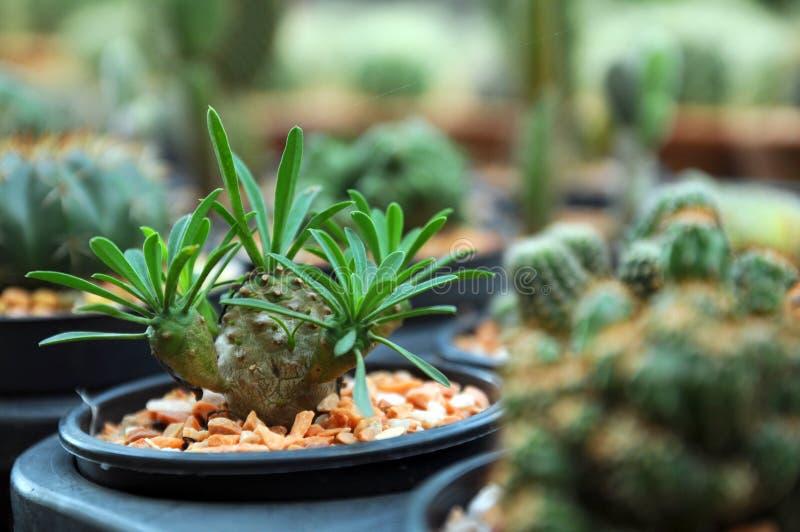 Kaktus w ogrodowej tacy obraz stock