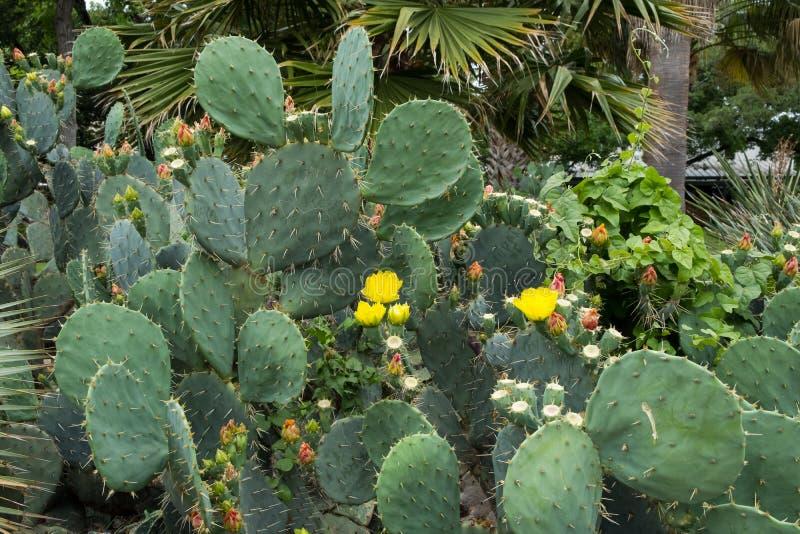 Kaktus w Teksas obraz royalty free
