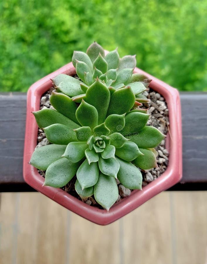 Kaktus z natury zdjęcia stock