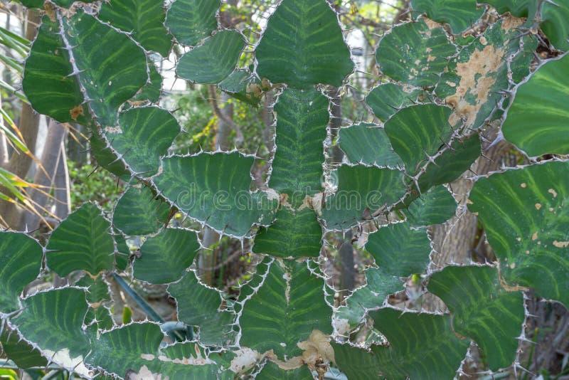 Kaktus z zieleń samolotu częściami jest bardzo niebezpieczny obrazy royalty free