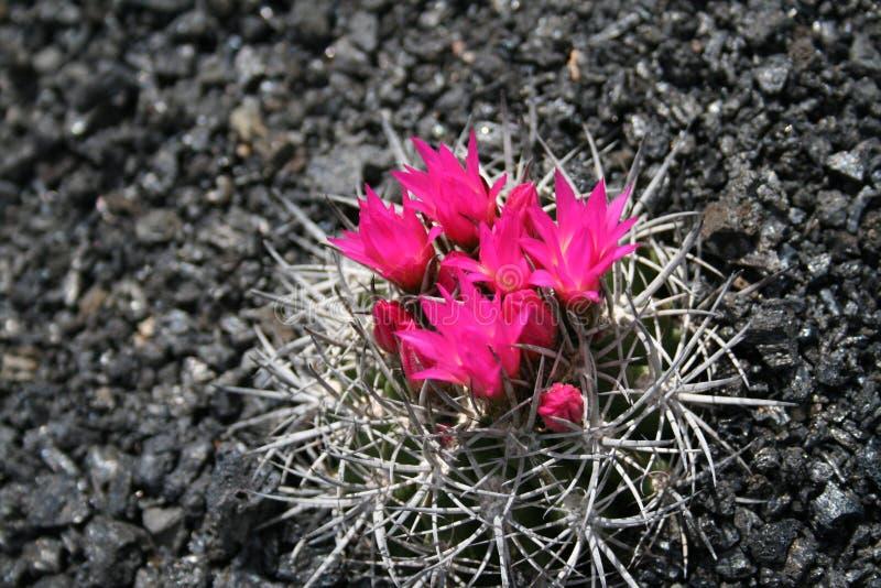 kaktus zakwitnąć zdjęcie stock