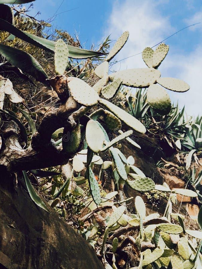 Kaktus zasadza madery wyspę fotografia stock