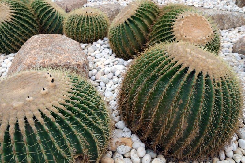 Kaktus zasadzający w ogródzie zdjęcie royalty free