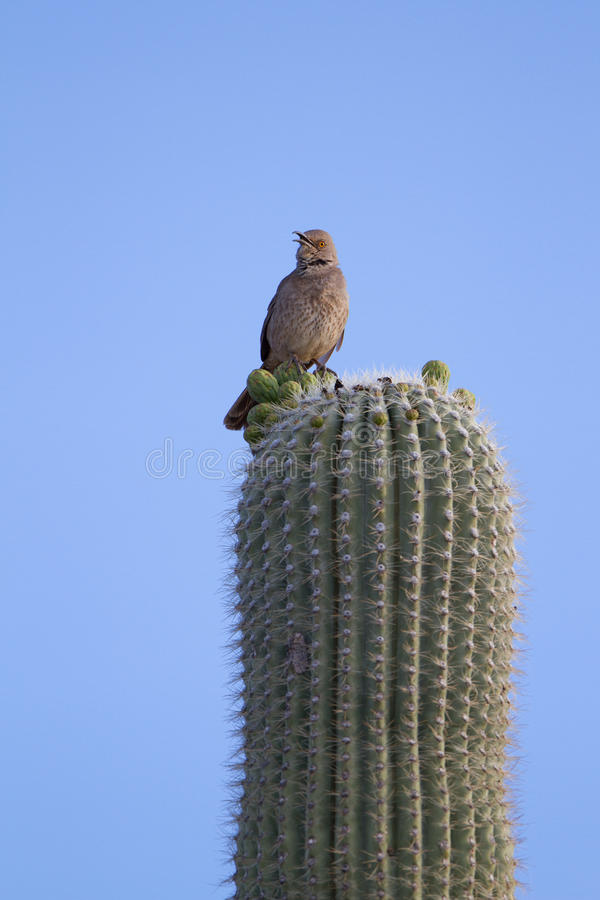 Kaktus-Zaunkönig, Campylorhynchus brunneicapillus stockfotografie