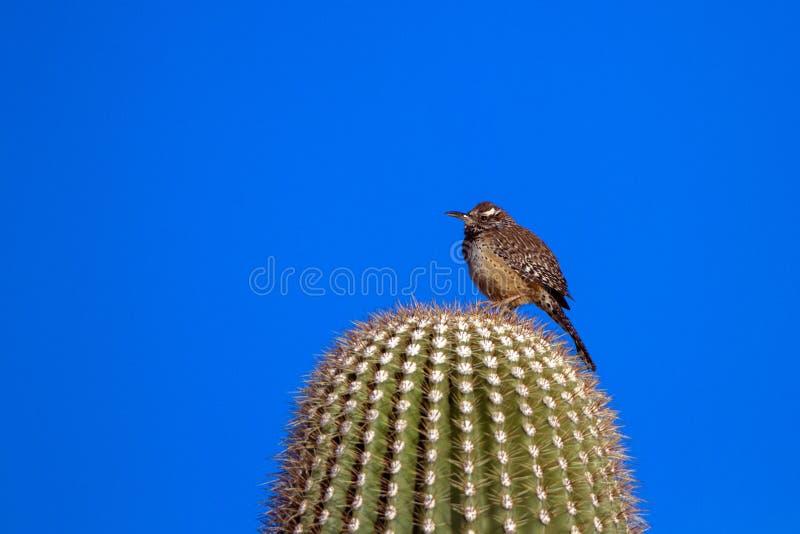 Kaktus-Zaunkönig an der Dämmerung auf einem riesigen Saguarokaktus in der Sonora-Wüste von Süd-Arizona lizenzfreie stockfotografie