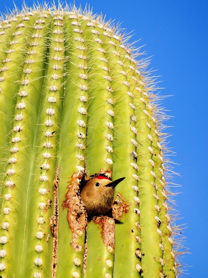 Kaktus-Zaunkönig in einem Saguaro stockfotografie