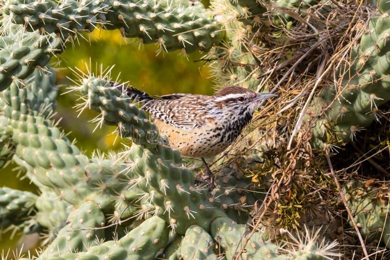 Kaktus-Zaunkönig gehockt auf Cholla-Kaktus, nahe bei seinem Nest in Arizonas Sonoran-Wüste stockfotografie