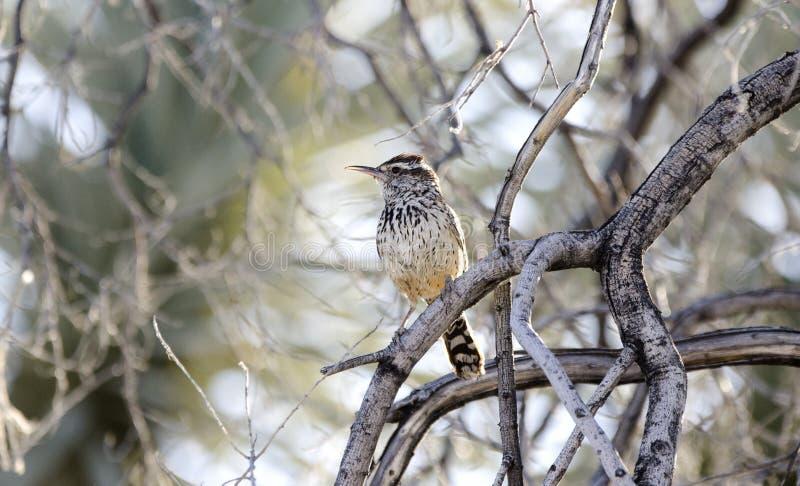 Kaktus-Zaunkönigvogel in der Wüste scheuern sich, Arizona lizenzfreie stockfotos