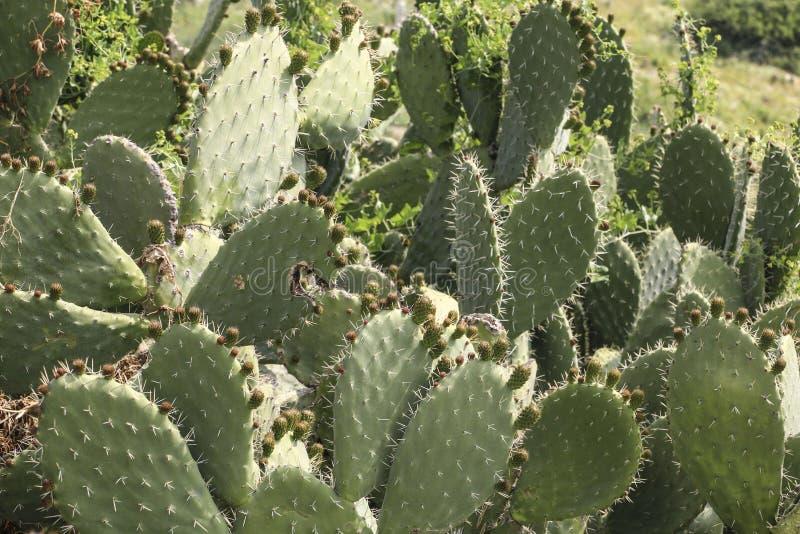 Kaktusa krajobraz Kłującej bonkrety kaktus lub Opuntia ficus indica wi obraz royalty free