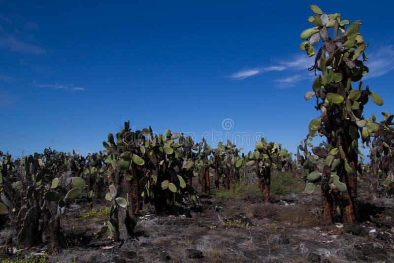 Kaktusa pole obrazy royalty free