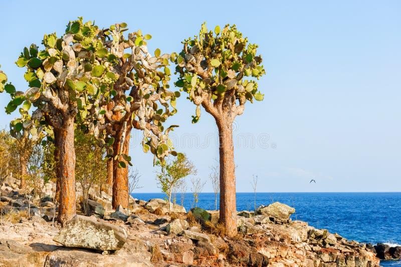 Kaktusbäume in Galapagos-Inseln lizenzfreie stockbilder