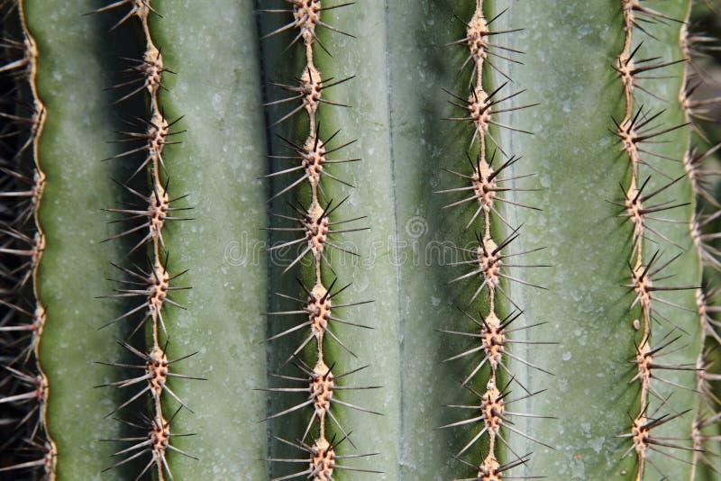 Kaktusbakgrund royaltyfria bilder