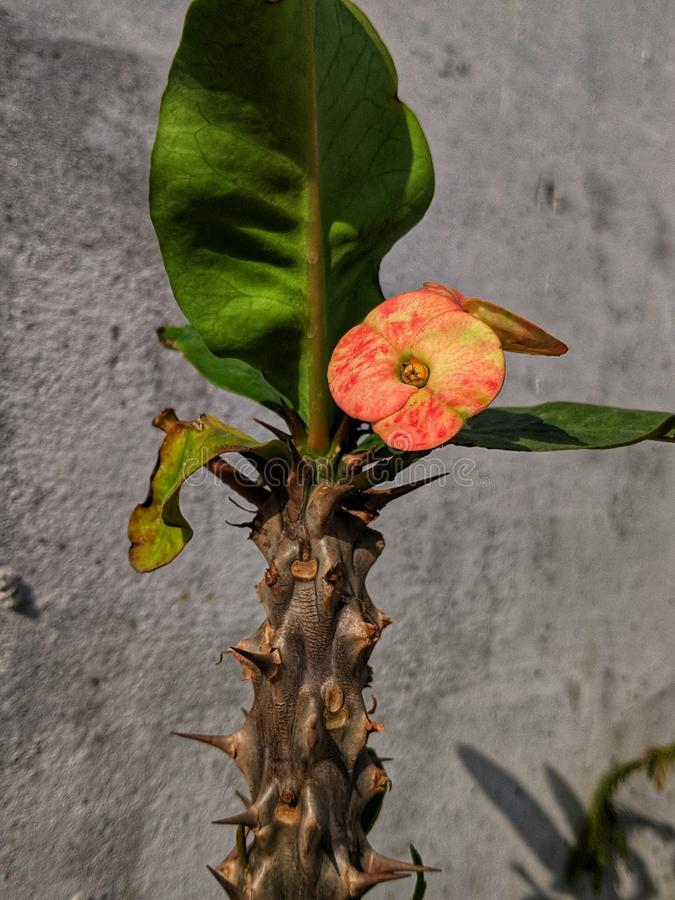 Kaktusbaum an meinem Haus stockbild