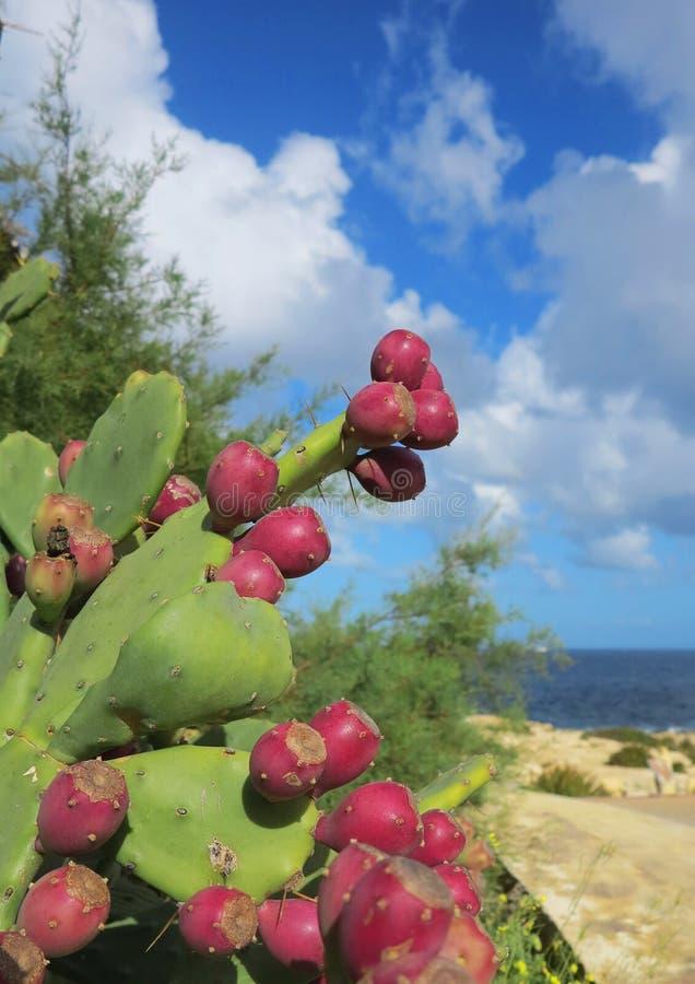 Kaktusbirne, Opuntie Ficus-Indica stockfotos