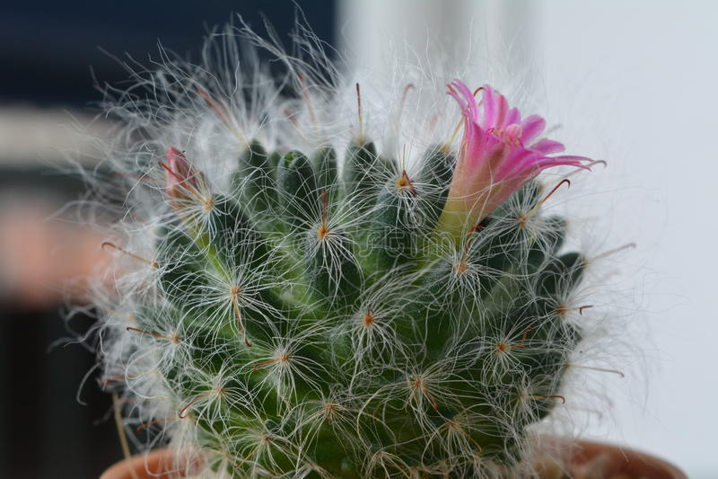 Kaktusblühen schön und angenehm lizenzfreie stockfotografie