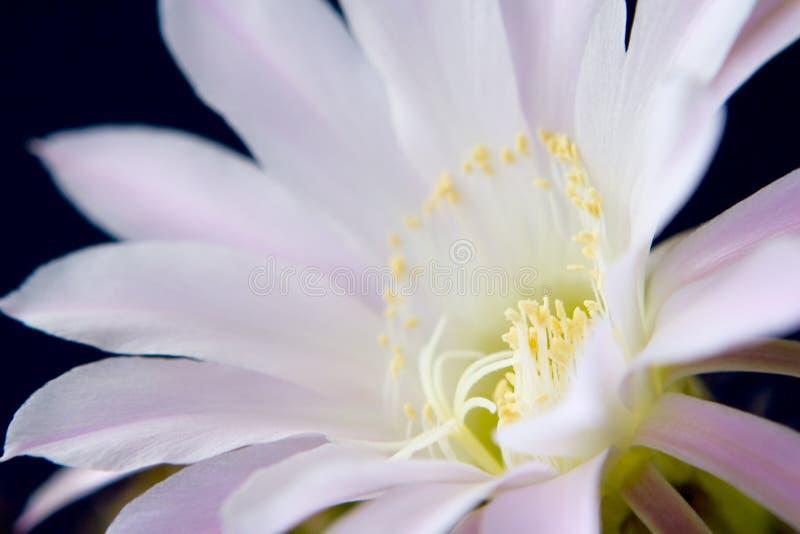 kaktusblomma fotografering för bildbyråer