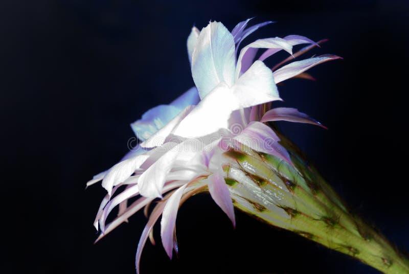 kaktusblomma royaltyfria foton