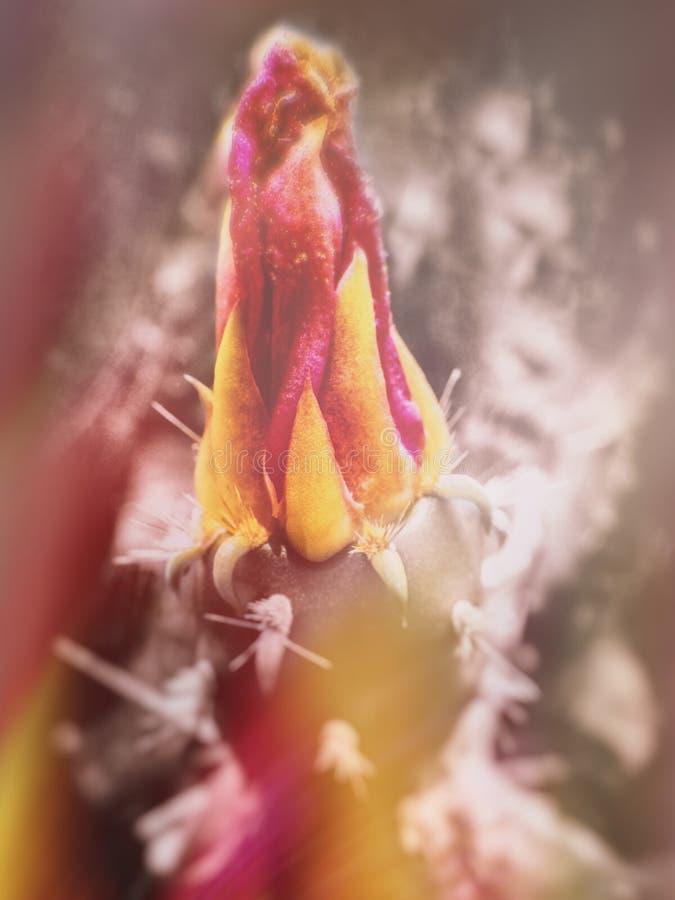 Kaktusblomma med röda och gula färger royaltyfri bild