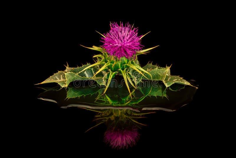 Kaktusblommareflexion fotografering för bildbyråer