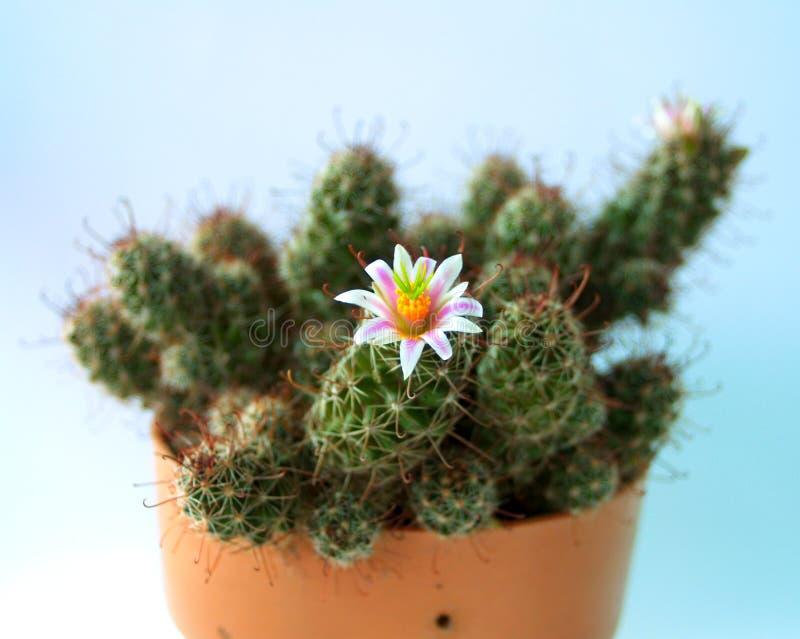 Kaktusblume 01 lizenzfreie stockfotos