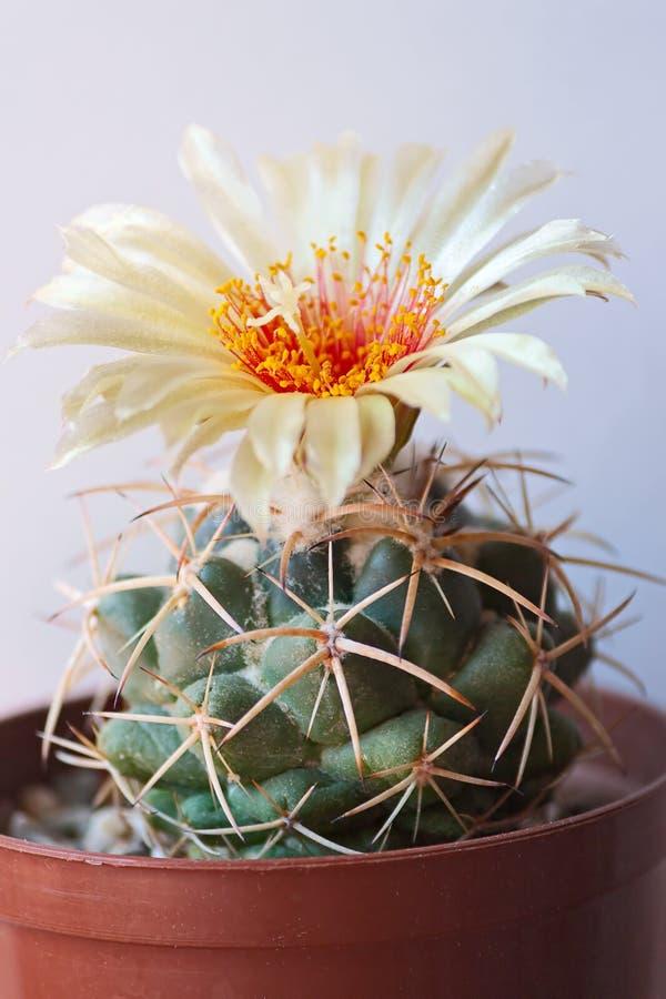 Download Kaktusblume stockfoto. Bild von saftig, botanik, nachricht - 27734944