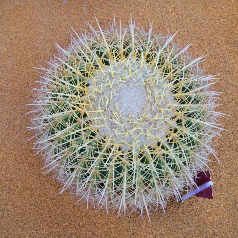 Kaktusboll arkivfoto