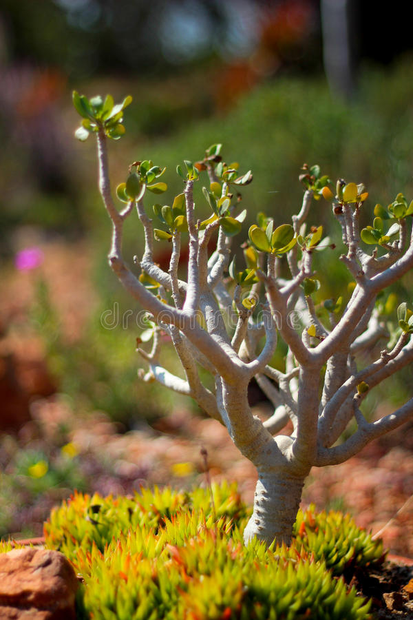 Kaktusbonzai arkivfoton