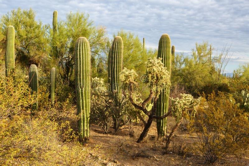 Kaktusbusksnår i Saguaronationalparken på solnedgången, sydöstliga Arizona, Förenta staterna royaltyfri fotografi