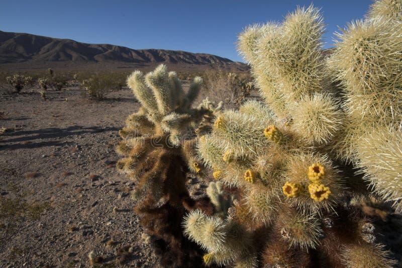 kaktuscholla arkivbild