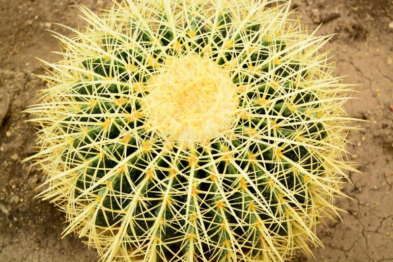 Kaktuscloseup, Echinocactus grusoniisucculente fotografering för bildbyråer