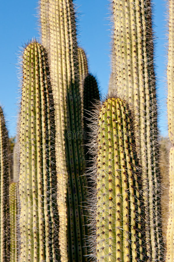 kaktusen details saguaroen royaltyfria bilder