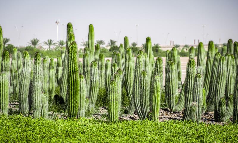 Kaktusfält på den Yas ön, ABu Dhabi, UAE arkivfoton