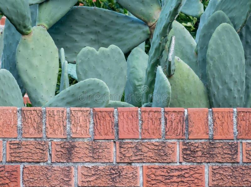 Kaktusfeige-Opuntie spp Kaktus hinter einer alten Backsteinmauer stockbild