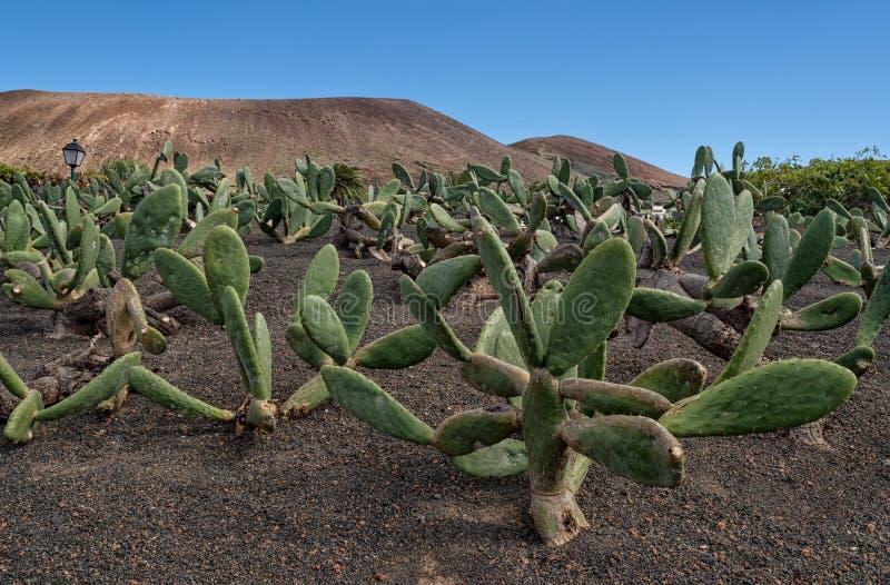 Kaktusfeige, Opuntiekaktusgarten in Lanzarote stockbild